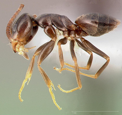 Odorous House Ant, Stink Ant