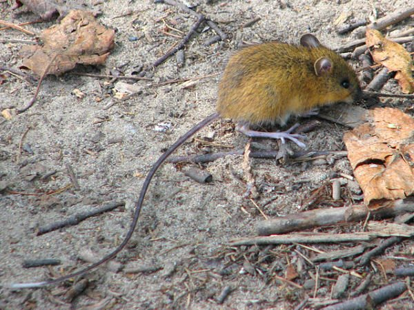 Woodland/Jumping Mouse